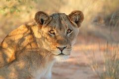 Afrykański lwica portret Zdjęcia Royalty Free