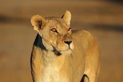 Afrykański lwica portret Zdjęcia Stock