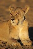 Afrykański lwica portret Fotografia Royalty Free