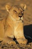 Afrykański lwica portret Obraz Royalty Free