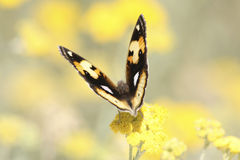 afrykański motyl Zdjęcie Royalty Free