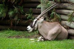Afrykański Oryx (Oryx gazella) Zdjęcie Royalty Free