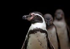 afrykański pingwin obrazy stock
