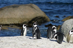 Afrykański pingwin Fotografia Royalty Free