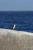 Afrykański pingwin Zdjęcie Stock