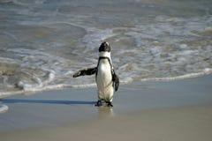 Afrykański pingwin Zdjęcia Royalty Free
