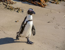 Afrykański pingwin Obrazy Royalty Free