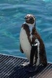 Afrykański pingwin Obraz Stock
