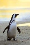 Afrykański pingwin przy zmierzchem Zdjęcie Stock