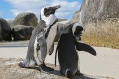 Afrykański pingwin & x28; Spheniscus demersus& x29; para fotografia stock