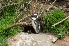 Afrykański pingwinu lat Spheniscus Demersus przed gniazdeczkiem Obrazy Royalty Free