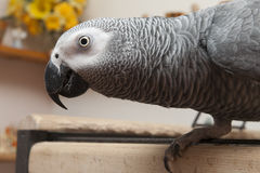 Afrykański popielaty papuzi boczny widok Obraz Royalty Free