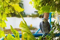 Afrykański popielaty papuzi obsiadanie na barze pod drzewem Zdjęcie Stock