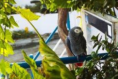 Afrykański popielaty papuzi obsiadanie na barze pod drzewem Obraz Royalty Free