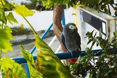 Afrykański popielaty papuzi obsiadanie na barze pod drzewem Fotografia Stock