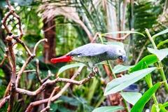 Afrykański Popielaty Papuzi Psittacus Erithacus w Naturalnym siedlisku Zdjęcia Royalty Free
