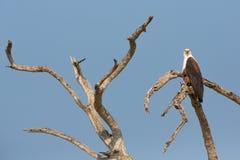 Afrykański Rybi Eagle Fotografia Stock