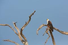 Afrykański Rybi Eagle Obrazy Royalty Free