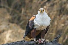 Afrykański Rybi Eagle (Haliaeetus vocifer) Obraz Royalty Free