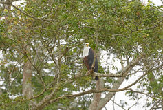 Afrykański Rybi Eagle w Afryka Zdjęcia Stock
