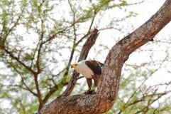 Afrykański Rybi Eagle w drzewie Obrazy Stock