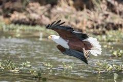 Afrykański Rybiego Eagle Haliaeetus vocifer Fotografia Royalty Free