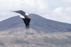 Afrykański Rybiego Eagle Haliaeetus vocifer Fotografia Stock