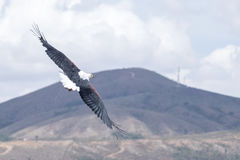 Afrykański Rybiego Eagle Haliaeetus vocifer Zdjęcia Royalty Free