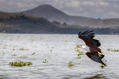 Afrykański Rybiego Eagle Haliaeetus vocifer Zdjęcie Royalty Free
