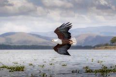 Afrykański Rybiego Eagle Haliaeetus vocifer Obrazy Royalty Free