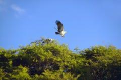 Afrykański Rybiego Eagle latanie od drzewa przy Lewa Conservancy, Kenja, Afryka Zdjęcia Stock