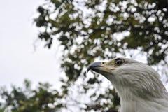 Afrykański Rybiego Eagle portret (Haliaeetus vocifer) Obrazy Stock