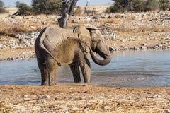 Afryka?ski s?o?, Loxodonta Africana w Etosha parku narodowym, Namibia zdjęcie stock
