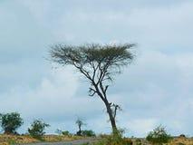 Afrykański samotny drzewo Obrazy Stock