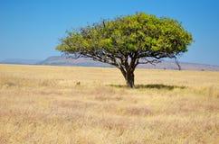 Afrykański sawannowy obszaru trawiastego krajobraz, akacjowy drzewo w sawannie w Afryka Zdjęcia Royalty Free
