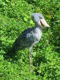 Afrykański Shoebill ptak Obraz Royalty Free