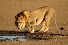 afrykański target956_0_ lew Zdjęcia Stock