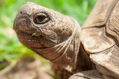 Afrykański tortoise portret Zdjęcia Royalty Free