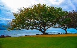 Afrykański Tulipanowy drzewo Kauai Hawaje Obraz Royalty Free