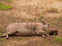 afrykański warthog Zdjęcia Stock