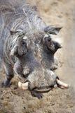 afrykański warthog Obraz Stock
