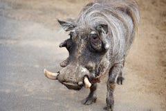 afrykański warthog Fotografia Stock