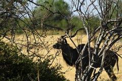 Afrykański Wielki kudu byk Zdjęcia Royalty Free