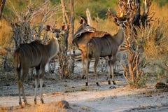 Afrykański Wielki kudu stado Fotografia Stock