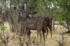 Afrykański Wielki kudu stado Obrazy Stock