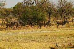 Afrykański Wielki kudu stado Zdjęcie Stock