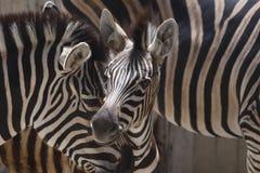 afrykańskie zebry Zdjęcia Stock