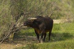 afrykańskiego bawoliego caffer lasowy nanus syncerus Obrazy Royalty Free