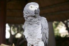 afrykańskiego grey papuga zdjęcie stock