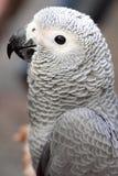 afrykańskiego grey papuga Zdjęcia Royalty Free